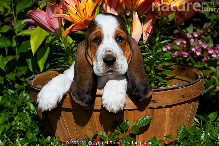 Basset Hound puppy in basket with garden flowers. USA, CANIDAE,CUTE,DOGS,EARS,FLOWERS,HOUNDS,MEDIUM DOGS,OUTDOORS,PETS,PORTRAITS,PUPPIES,SCENTHOUNDS,VERTEBRATES,YOUNG,Canids, Lynn M Stone
