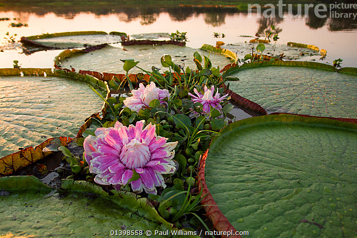 Giant water lily (Victoria cruziana) Pantanal, Matogrossense National Park, Brazil. Flowers open at night to attract beetles to pollinate them. The flower is 10c warmer than its surroundings, this helps its scent to radiate.  ,  AQUATIC,BEHAVIOUR,BRAZIL,DUSK,EVENING,FLOWERING,FLOWERS,FRESHWATER,LEAVES,NATIONAL PARK,NP,NYMPHAEACEAE,PANTANAL,PLANTS,RESERVE,SOUTH AMERICA,TROPICAL,TROPICS,WATER,WATER LILIES,WATERLILY,WETLANDS,,Pantanal Matogrossense National Park,UNESCO World Heritage Site,Pantanal Conservation Area,  ,  Paul Williams