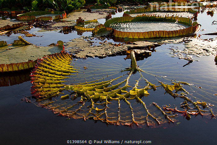 Giant water lily (Victoria cruziana) underside of leaf showing spines for protection against fish, and thick stems filled with air for support to float on water, Pantanal, Matogrossense National Park, Brazil, AQUATIC,BRAZIL,DEFENCE,DETAIL,FRESHWATER,LEAVES,NATIONAL PARK,NP,NYMPHAEACEAE,PANTANAL,PLANTS,RESERVE,SOUTH AMERICA,SURFACE,TROPICAL,TROPICS,WATER,WATER LILIES,WATERLILY,WETLANDS,,Pantanal Matogrossense National Park,UNESCO World Heritage Site,Pantanal Conservation Area,, Paul Williams