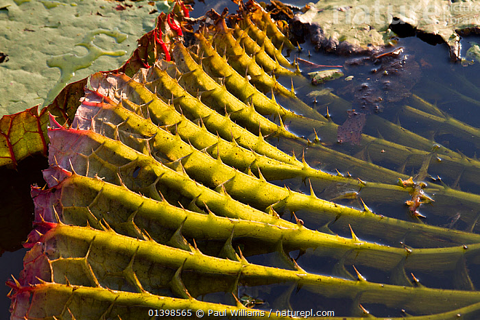 Giant water lily (Victoria cruziana) underside of leaf showing spines for protection against fish, and thick stems filled with air for support to float on water, Pantanal, Matogrossense National Park, Brazil, AQUATIC,BRAZIL,CRYPTIC,DETAIL,FRESHWATER,LEAVES,MORPHOLOGY,NATIONAL PARK,NP,NYMPHAEACEAE,PANTANAL,PLANTS,RESERVE,SOUTH AMERICA,STRUCTURE,SURFACE,TROPICAL,TROPICS,WATER,WATER LILIES,WATERLILY,WETLANDS,,Pantanal Matogrossense National Park,UNESCO World Heritage Site,Pantanal Conservation Area,, Paul Williams