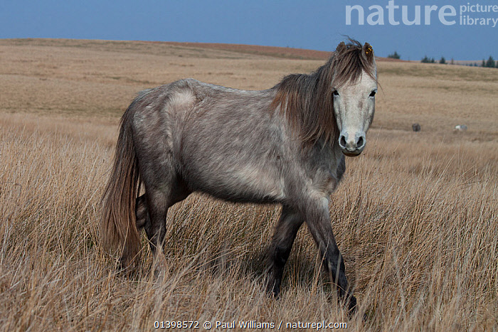 Welsh Mountain Pony, Welsh Cob, Welsh Pony of Cob (Equus ferus caballus), Brecon Beacons, Wales, UK, March, EQUIDAE,EUROPE,HORSES,MAMMALS,MOORLAND,MOORS,PERISSODACTYLA,PONIES,PORTRAITS,PROFILE,UK,VERTEBRATES,WALES,WALKING,WELSH,WILD,United Kingdom,Equines, Paul Williams