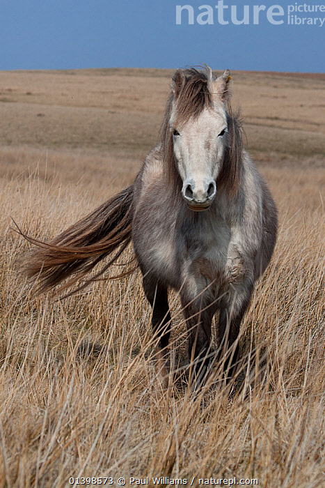 Welsh Mountain Pony, Welsh Cob, Welsh Pony of Cob (Equus ferus caballus), Brecon Beacons, Wales, UK, March, COPYSPACE,EQUIDAE,EUROPE,HORSES,MAMMALS,MOORLAND,MOORS,PERISSODACTYLA,PONIES,PORTRAITS,STANDING,UK,VERTEBRATES,VERTICAL,WALES,WELSH,WILD,United Kingdom,Equines, Paul Williams