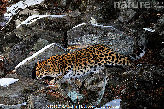 Amur Leopard (Panthera pardus orientalis) walking among snowy rocks at night, Kedrovaya Pad reserve, Primorskiy krai, Far East Russia, January, Critically endangered species., ASIA,BIG CATS,CARNIVORES,CRITICALLY ENDANGERED,ENDANGERED,FELIDAE,KEDROVAPAD,LEOPARDS,MAMMALS,NIGHT,RUSSIA,STEALTH,VERTEBRATES, Vladimir Medvedev