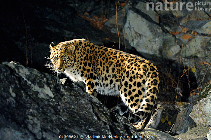 Amur Leopard (Panthera pardus orientalis) on rocky slope at night, Kedrovaya Pad reserve, Primorskiy krai, Far East Russia, December, Critically endangered species.  ,  ASIA,BIG CATS,CARNIVORES,CRITICALLY ENDANGERED,ENDANGERED,FELIDAE,KEDROVAPAD,LEOPARDS,MAMMALS,NIGHT,PORTRAITS,RUSSIA,VERTEBRATES  ,  Vladimir Medvedev