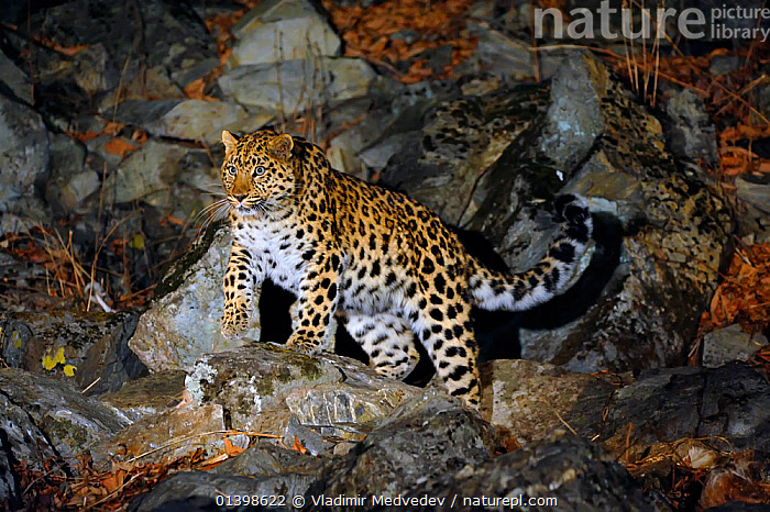 Amur Leopard (Panthera pardus orientalis) on rocky slope at night, Kedrovaya Pad reserve, Primorskiy krai, Far East Russia, December, Critically endangered species., ASIA,BIG CATS,CARNIVORES,CRITICALLY ENDANGERED,ENDANGERED,FELIDAE,KEDROVAPAD,LEOPARDS,MAMMALS,NIGHT,PORTRAITS,RUSSIA,VERTEBRATES, Vladimir Medvedev
