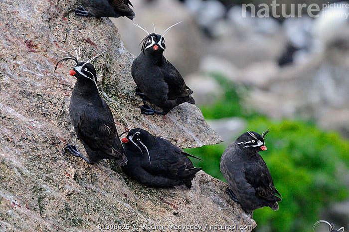 Whiskered auklets (Aethia pygmaea), Iony Island / Jonas' Island, Sea of Okhotsk, Far East Russia, July, ALCIDAE,ASIA,AUKLETS,BIRDS,COASTS,FLOCKS,FOUR,GROUPS,ISLANDS,RUSSIA,SAINT,SEABIRDS,ST JONAH'S ISLAND,VERTEBRATES,WHISKERS,CIS, Vladimir Medvedev