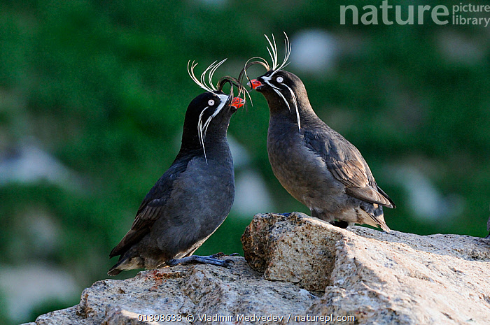 Whiskered auklets (Aethia pygmaea), Iony Island / Jonas' Island, Sea of Okhotsk, Far East Russia, July, ALCIDAE,ASIA,AUKLETS,BIRDS,COASTS,FEATHERS,ISLANDS,RUSSIA,SAINT,SEABIRDS,ST JONAH'S ISLAND,TWO,VERTEBRATES,WHISKERS,CIS, Vladimir Medvedev