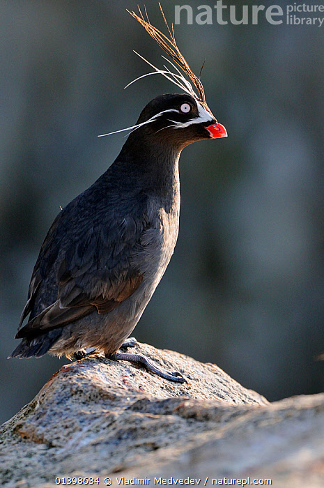 Whiskered auklet (Aethia pygmaea), Iony Island / Jonas' Island, Sea of Okhotsk, Far East Russia, July, ALCIDAE,ASIA,AUKLETS,BIRDS,COASTS,FEATHERS,ISLANDS,PROFILE,RUSSIA,SAINT,SEABIRDS,ST JONAH'S ISLAND,VERTEBRATES,VERTICAL,WHISKERS,CIS, Vladimir Medvedev