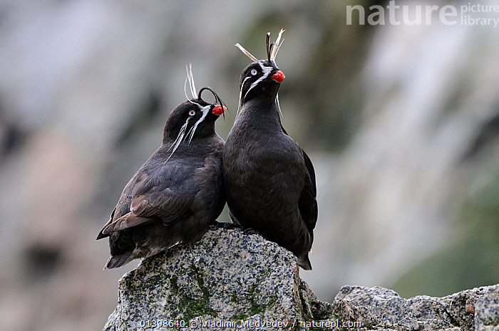 Whiskered auklets (Aethia pygmaea), Iony Island / Jonas' Island, Sea of Okhotsk, Far East Russia, July, ALCIDAE,ASIA,AUKLETS,BIRDS,COASTS,ISLANDS,RUSSIA,SAINT,SEABIRDS,ST JONAH'S ISLAND,TWO,VERTEBRATES,WHISKERS, Vladimir Medvedev