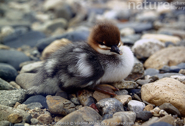 Scaly-sided merganser (Mergus squamatus) chick, Kievka River, Lazovsky District, Primorsky Krai, Far East Russia  ,  ASIA,BABIES,BIRDS,CAMOUFLAGE,CHICKS,DUCKS,PEBBLES,RIVERS,RUSSIA,VERTEBRATES,WATERFOWL,YOUNG  ,  Vladimir Medvedev