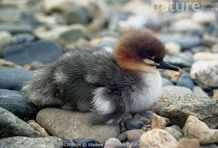 Scaly-sided merganser (Mergus squamatus) chick, Kievka River, Lazovsky District, Primorsky Krai, Far east Russia, ASIA,BIRDS,CAMOUFLAGE,DUCKLING,DUCKS,PEBBLES,PROFILE,RIVERS,RUSSIA,VERTEBRATES,WATERFOWL, Vladimir Medvedev