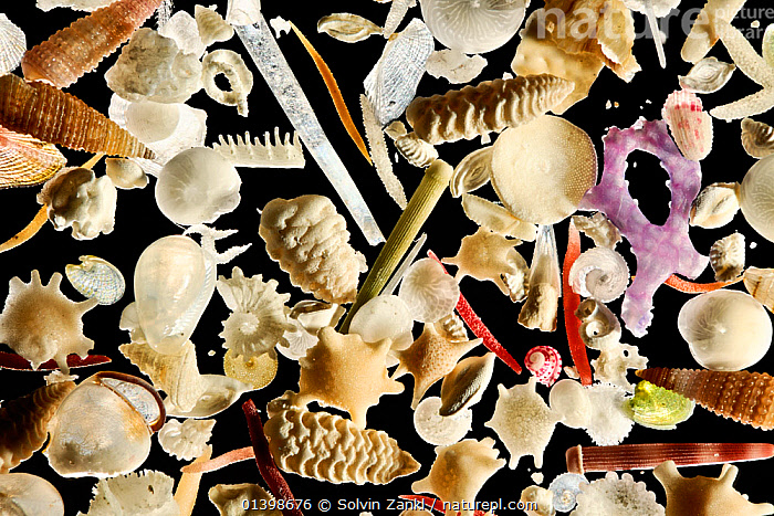 The white carbonate sand from Raja Ampat, Indonesia, is generated by a vast diversity of organisms: e.g. foraminifera, sponges, brachiopods, echinoderms, bryozoa and mollusks. Diagonal of frame approx. 8 mm  Digital focus stacking image, BIVALVES,BRACHIOPODS,Bryozoa,CLOSE UPS,CUTOUT,DETAILS,ECHINODERMS,FORAMINIFERA,INVERTEBRATES,MACRO,MARINE,MICROSCOPIC,MIXED SPECIES,MOLLUSCS,sand,SEASHELLS,SPONGES,Asia, Solvin Zankl