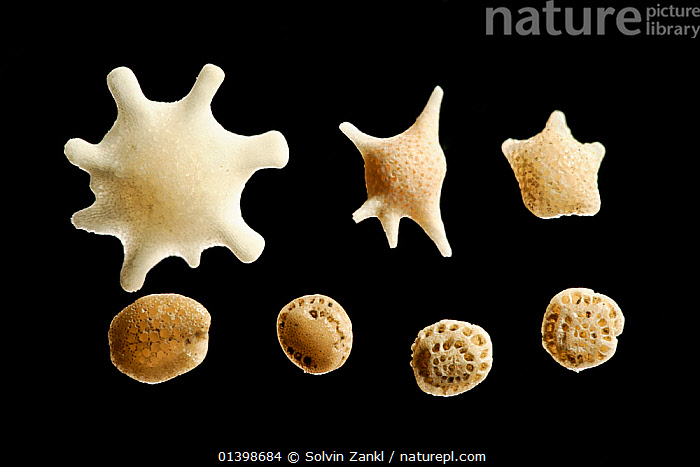 Foraminifera shells from sample of calcareous sand: upper left (Calcarina gaudichaudi) centre (Baculogypsina sphaerulata). Upper right and bottom row abraded specimen. Due to abrasion identification impossible, but inner chambers partly visible. Raja Ampat, Indonesia. Diagonal of frame approx. 5 mm  Digital focus stacking image, CLOSE UPS,CUTOUT,DETAILS,FORAMINIFERA,MACRO,MARINE,MICROSCOPIC,Shell,shells, Solvin Zankl
