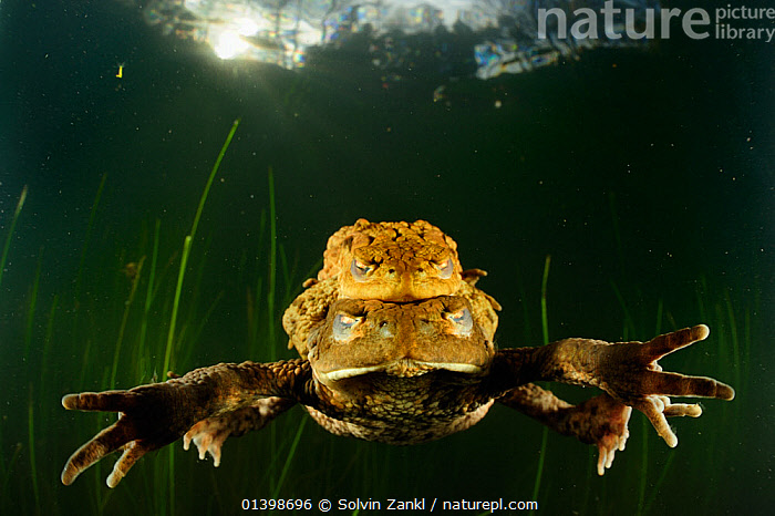 Common European toads (Bufo bufo) mating, with membranes closed over eyes for protection, Solling, Central Germany., AMPHIBIANS,ANURA,COPULATION,EUROPE,FRESHWATER,GERMANY,MALE FEMALE PAIR,MATING BEHAVIOUR,TEMPERATE,TOADS,UNDERWATER,VERTEBRATES,Reproduction,Catalogue5, Solvin Zankl