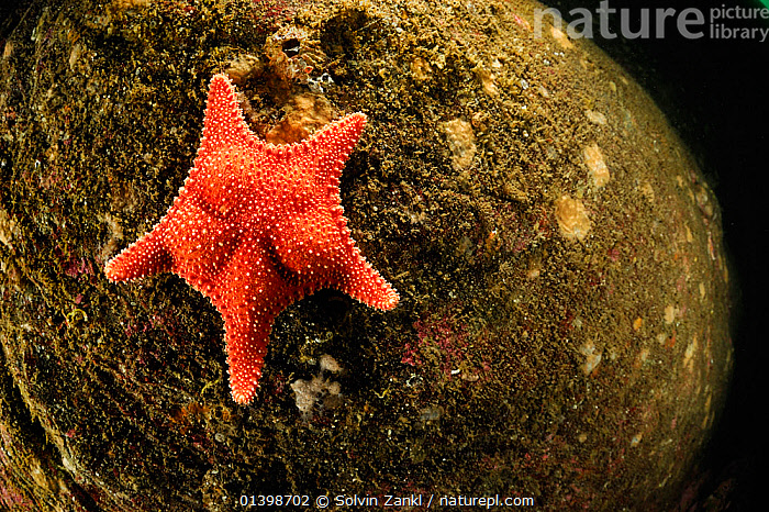 Seastar (Hippasteria phrygiana), Atlantic Ocean, North West Norway  ,  ATLANTIC,COLD,ECHINODERMS,EUROPE,INVERTEBRATES,MARINE,NORWAY,POLAR,SCANDINAVIA,SEA STARS,STARFISH,UNDERWATER  ,  Solvin Zankl
