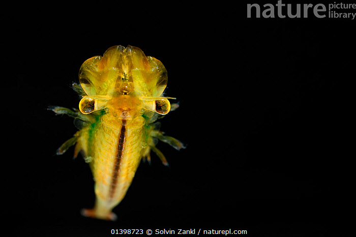 Fairy Shrimp (Eubranchipus grubii) male (Captive)  ,  ATLANTIC,BLACK BACKGROUND,COPYSPACE,CRUSTACEANS,CUTOUT,FAIRY SHRIMPS,FRESHWATER,INVERTEBRATES,MALES,MARINE,UNDERWATER  ,  Solvin Zankl