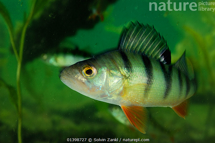Perch (Perca fluviatilis) Lake Stechlin, Germany, FISH,FRESHWATER,LAKES,OSTEICHTHYES,PERCH,PORTRAITS,TEMPERATE,UNDERWATER,VERTEBRATES,WATER,Europe, Solvin Zankl