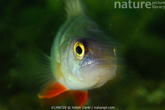 Perch (Perca fluviatilis) lake Stechlin, Germany, EUROPE,FISH,FRESHWATER,GERMANY,LAKES,OSTEICHTHYES,PERCH,PORTRAITS,TEMPERATE,UNDERWATER,VERTEBRATES,WATER, Solvin Zankl