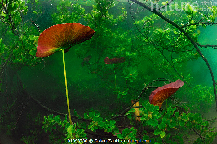 White water lily (Nymphaea alba) Lake Stechlin, Germany  ,  DICOTYLEDONS,FRESHWATER,GERMANY,HABITAT,LAKES,LOTUS,NYMPHAEACEAE,PLANTS,TEMPERATE,UNDERWATER,WATER,WATER LILIES,Europe  ,  Solvin Zankl