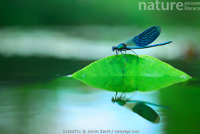 Banded Demoiselle (Calopteryx splendens) male at resting river, North Germany, ARTHROPODS, BLUE, DAMSELFLIES, EUROPE, INSECTS, INVERTEBRATES, MALES, ODONATA, PORTRAITS, RIVERS, WATER, Solvin Zankl