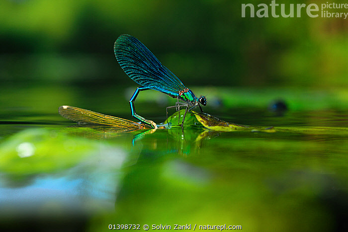 Banded Demoiselle (Calopteryx splendens) male gripping female while female is laying eggs underwater river, North Germany, ARTHROPODS, BEHAVIOUR, DAMSELFLIES, egg-laying, EUROPE, GERMANY, INSECTS, INVERTEBRATES, MALE-FEMALE-PAIR, MATING-BEHAVIOUR, ODONATA, RIVERS, WATER,Reproduction, Solvin Zankl