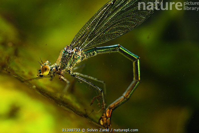 Banded Demoiselle (Calopteryx splendens) female  laying eggs underwater in river, Germany  ,  ARTHROPODS, BEHAVIOUR, DAMSELFLIES, egg-laying, FEMALES, INSECTS, INVERTEBRATES, ODONATA, RIVERS, WATER,Europe  ,  Solvin Zankl
