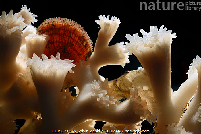 Coral (Lophelia pertusa) from reef in Trondheimfjord, North Atlantic Ocean, Norway. Photo taken in cooperation with GEOMAR coldwater coral research project  ,  ANTHOZOANS,ATLANTIC,CNIDARIANS,COLD,CORALS,DEEPSEA,EUROPE,HARD CORALS,INVERTEBRATES,MARINE,NORWAY,POLAR,UNDERWATER,Scandinavia,Cnidaria  ,  Solvin Zankl / GEOMAR