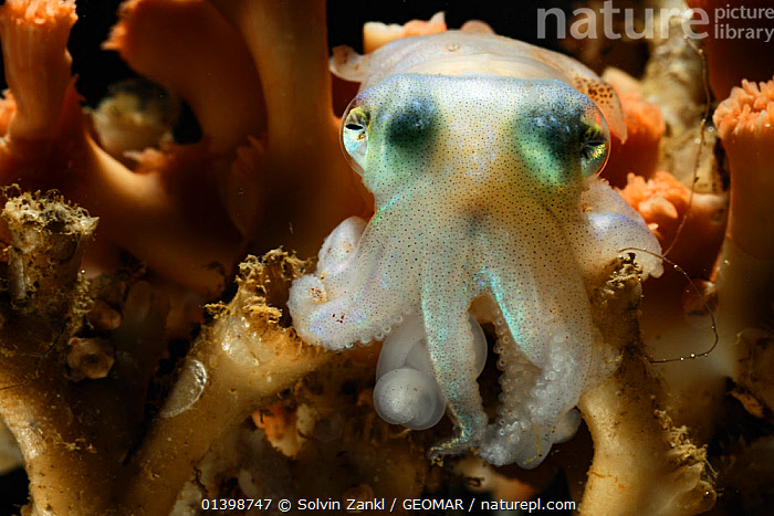 Bobtail squid (Rossia glaucopis) from Trondheimfjord, North Atlantic Ocean, Norway. Photo taken in cooperation with GEOMAR coldwater coral research project, ATLANTIC,BOBTAIL SQUID,CEPHALOPODS,COLD,CORALS,DEEPSEA,EUROPE,INVERTEBRATES,MARINE,MARINES,MOLLUSCS,NORWAY,POLAR,SCANDINAVIA,UNDERWATER, Solvin Zankl / GEOMAR