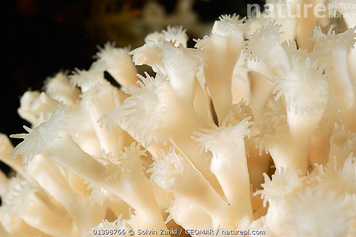 Lophelia (Lophelia pertusa) the most widespread reef-framework-forming cold-water coral which can form massive deep-sea coral reefs,  from Trondheimfjord, North Atlantic Ocean, Norway. Controlled conditions. Photo taken in cooperation with GEOMAR coldwater coral research project, ANTHOZOANS,CNIDARIANS,COLD,CORALS,DEEPSEA,EUROPE,HARD CORALS,INVERTEBRATES,MARINE,NORWAY,POLAR,SCANDINAVIA,UNDERWATER,Cnidaria, Solvin Zankl / GEOMAR