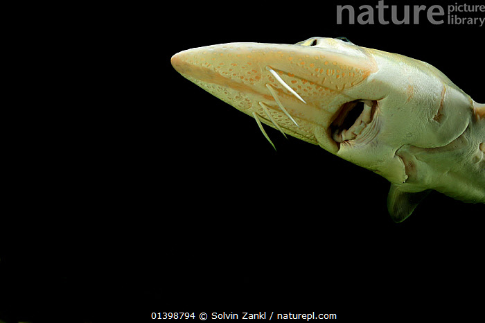 Common Atlantinc / European Sturgeon (Acipenser sturio) at the captive breeding programme in Berlin, Germany  ,  ATLANTIC,BLACK BACKGROUND,CONSERVATION,CUTOUT,EUROPE,FISH,FRESHWATER,GERMANY,MARINE,NORTH SEA,OSTEICHTHYES,STURGEONS,TEMPERATE,UNDERWATER,VERTEBRATES  ,  Solvin Zankl