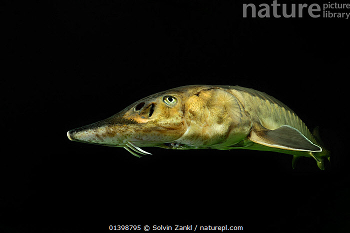 European Sturgeon (Acipenser sturio) photogrphed at the captive breeding programme in Berlin, Germany  ,  ATLANTIC,BLACK BACKGROUND,CONSERVATION,CUTOUT,EUROPE,FISH,FRESHWATER,GERMANY,MARINE,OSTEICHTHYES,STURGEONS,TEMPERATE,UNDERWATER,VERTEBRATES  ,  Solvin Zankl