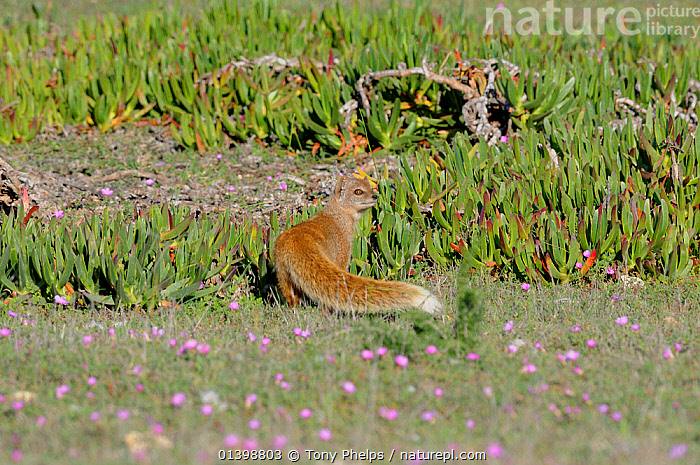 Yellow Mongoose (Cynicttus penicillata). DeHoop Nature reserve, Western Cape, South Africa, AFRICA,CARNIVORES,FLOWERS,FYNBOS,HERPESTIDAE,MAMMALS,MONGOOSES,PORTRAIT,REAR VIEW,RESERVE,SOUTH AFRICA,VERTEBRATES,WESTERN CAPE, Tony Phelps