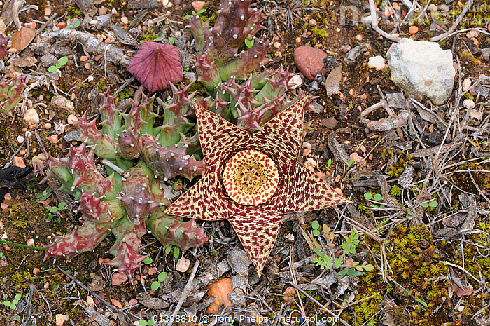 Star flower (Orbea variegata) DeHoop Nature reserve. Western Cape, South Africa.  ,  AASBLOM,AFRICA,ASCLEPIADACEAE,CACTUS,CARALLUMA VARIEGATA,CARRION FLOWER,FUNBOX,RESERVE,SOUTH AFRICA,STAPELIA MARMORATUM,STAPELIA VARIEGATA,STARFISH CACTUS,STAR FLOWER,SUCCULENT,TOAD CACTUS,VARIEGATED STAPELIA,WESTERN CAPE  ,  Tony Phelps