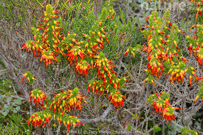Crimson Heath (Erica coccinea) DeHoop Nature reserve. Western Cape, South Africa., AFRICA,ASTERID,COLOURFUL,CRIMSON HEATH,DICOTYLEDONS,ERICACAE,FLOWERS,FULL FRAME,FYNBOS,HEATHER,PLANTS,RED,RESERVE,SOUTH AFRICA,WESTERN CAPE,YELLOW, Tony Phelps