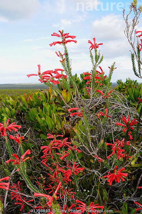 Fire Heath ( Erica cerinthoides), deHoop Nature reserve. Western Cape, South Africa.  ,  AFRICA,ERICACAE,FLOWERS,FULL FRAME,FYNBOS,HEATHER,KLIPHEIDE,PINK,PLANTS,RED,RED HAIRY HEATH,RESERVE,ROOIHAARTJIE,SOUTH AFRICA,VERTICAL  ,  Tony Phelps