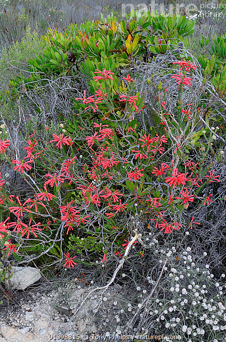 Fire Heath (Erica cerinthoides) deHoop Nature reserve. Western Cape, South Africa.  ,  AFRICA,ERICACAE,FLOWERS,FULL FRAME,FYNBOS,HEATHER,KLIPHEIDE,PINK,PLANTS,RED,RED HAIRY HEATH,RESERVE,ROOIHAARTJIE,SOUTH AFRICA,VERTICAL,WESTERN CAPE  ,  Tony Phelps
