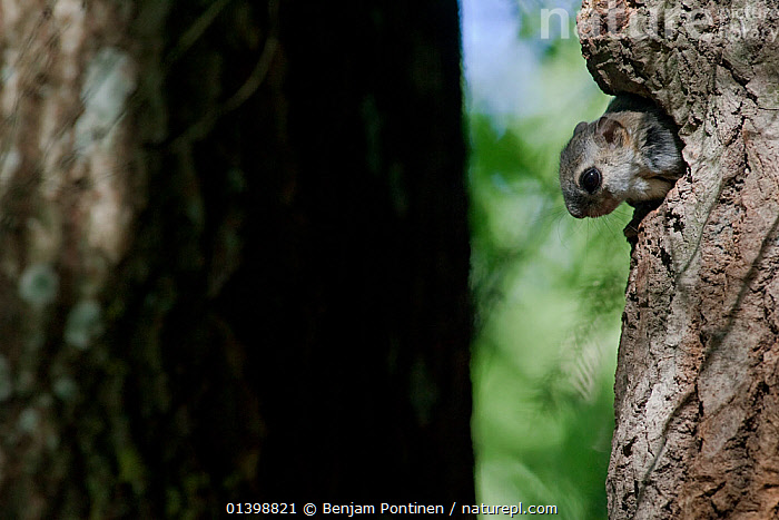 Siberian flying squirrel (Pteromys volans) with head poking out of nest hole in tree, Lapua, Finland, July  ,  CUTE,EUROPE,FINLAND,FLYING SQUIRRELS,MAMMALS,NESTS,RODENTS,SCANDINAVIA,SCIURIDAE,SUMMER,TRUNKS,VERTEBRATES,WOODLANDS  ,  Benjam Pontinen
