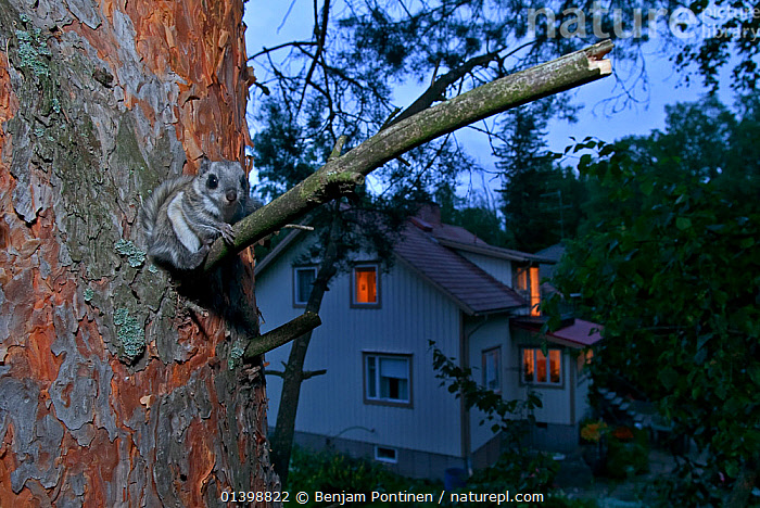 Siberian flying squirrel (Pteromys volans) sat in tree at dusk with house in the background, Seinajoki, Finland, August  ,  BUILDINGS,DAWN,DUSK,EUROPE,FINLAND,FLYING SQUIRRELS,GARDENS,LIGHTS,LOOKING AT CAMERA,MAMMALS,NOCTURNAL,RODENTS,SCANDINAVIA,SCIURIDAE,SUMMER,TREES,TRUNKS,TWILIGHT,VERTEBRATES,WINDOWS,WOODLANDS,PLANTS  ,  Benjam Pontinen