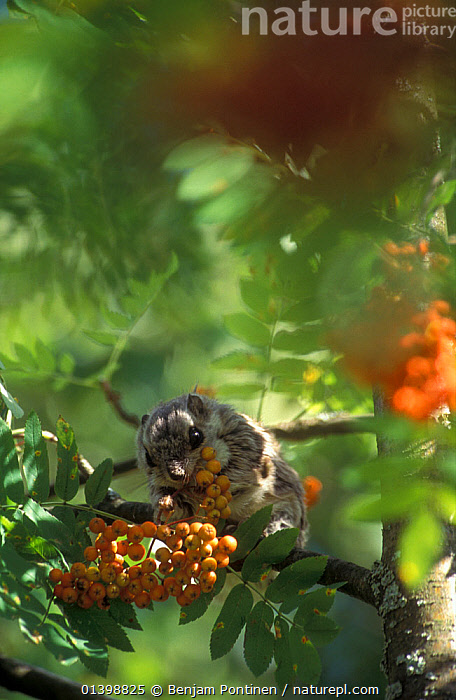 Siberian flying squirrel (Pteromys volans) eating Rowan (Sorbus) berries, Finland  ,  DICOTYLEDONS,EUROPE,FEEDING,FINLAND,FLYING SQUIRRELS,FRUIT,GREEN,LEAVES,MAMMALS,ORANGE,PLANTS,RODENTS,ROSACEAE,SCANDINAVIA,SCIURIDAE,SUMMER,TREES,VERTEBRATES,VERTICAL  ,  Benjam Pontinen
