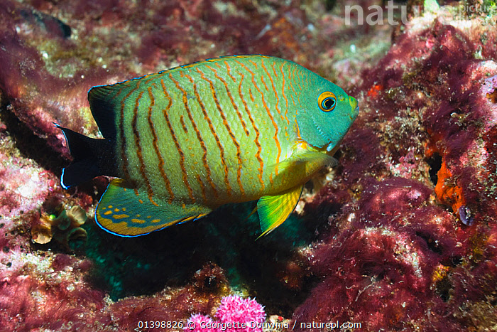 Blacktail angelfish (Centropyge eibli). Andaman Sea, Thailand., FISH, GREEN, INDIAN-OCEAN, MARINE, Pomacanthidae, THAILAND, TROPICAL, UNDERWATER, VERTEBRATES,SOUTH-EAST-ASIA, Georgette Douwma