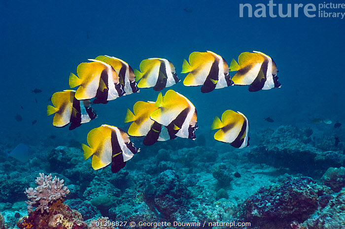 Masked bannerfish (Heniochus monoceros) group above coral reef, Maldives, Indo-West Pacific  ,  BUTTERFLYFISH, CORAL-REEFS, FISH, GROUPS, INDIAN-OCEAN, indo pacific, MARINE, OSTEICHTHYES, shoaling, shoals, TROPICAL, UNDERWATER, VERTEBRATES,INDIAN OCEAN ISLANDS  ,  Georgette Douwma