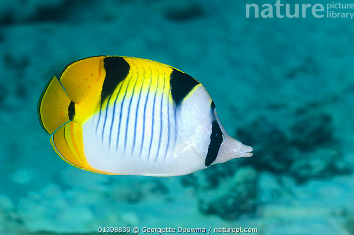 Saddleback butterflyfish (Chaetodon falcula) Andaman Sea, Thailand  ,  BUTTERFLYFISH,FISH,INDIAN OCEAN,MARINE,OSTEICHTHYES,PORTRAITS,PROFILE,SOUTH EAST ASIA,TROPICAL,TROPICS,UNDERWATER,VERTEBRATES,SOUTH-EAST-ASIA  ,  Georgette Douwma