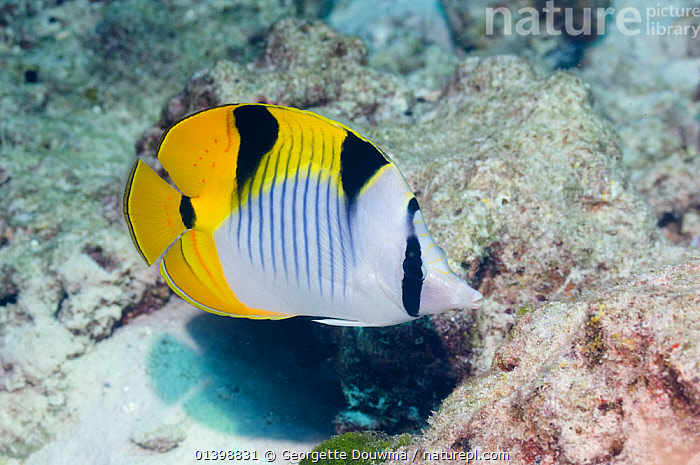 Saddleback butterflyfish (Chaetodon falcula) Andaman Sea, Thailand, BUTTERFLYFISH,CORAL REEFS,FISH,INDIAN OCEAN,MARINE,OSTEICHTHYES,PROFILE,SOUTH EAST ASIA,TROPICAL,UNDERWATER,VERTEBRATES,SOUTH-EAST-ASIA, Georgette Douwma