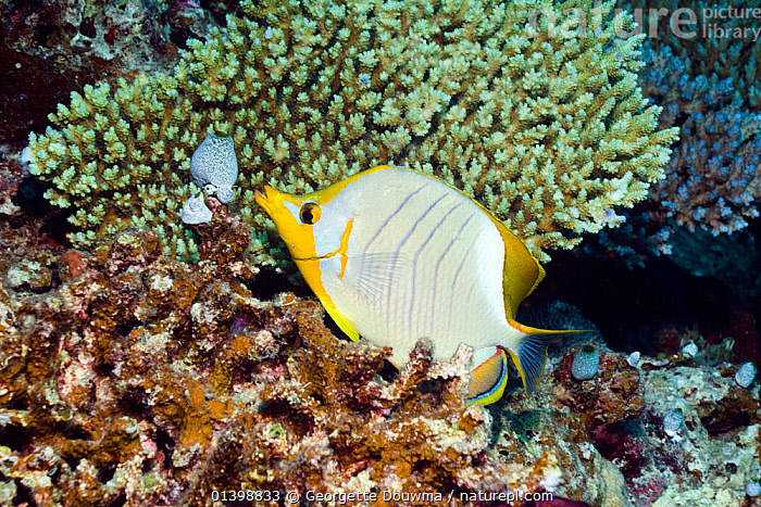 Yellowheaded butterflyfish (Chaetodon xanthocephalus) Maldives, Indian Ocean, BUTTERFLYFISH,CORAL REEFS,FISH,INDIAN OCEAN,INDIAN OCEAN,MARINE,OSTEICHTHYES,PROFILE,TROPICAL,UNDERWATER,VERTEBRATES, Georgette Douwma