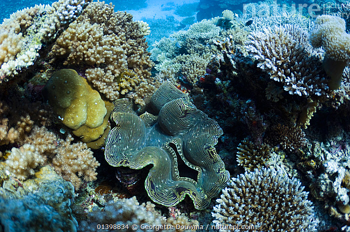 Fluted giant clam (Tridacna squamosa) on coral reef. Maldives, Indian Ocean, BIVALVES,CLAMS,CORAL REEFS,HABITAT,INDIAN OCEAN ISLANDS,INDIAN OCEAN,INVERTEBRATES,MARINE,MIXED SPECIES,MOLLUSCS,TROPICAL,UNDERWATER, Georgette Douwma
