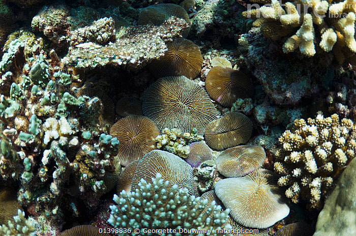 Mushroom corals (Fungia fungites) on rubble bottom of reef under other corals, Maldives, Indian Ocean, ANTHOZOANS,CNIDARIANS,CORAL REEFS,CORALS,HARD CORALS,INDIAN OCEAN ISLANDS,INDIAN OCEAN,INVERTEBRATES,MARINE,MIXED SPECIES,TROPICAL,UNDERWATER,WORMS,Cnidaria, Georgette Douwma