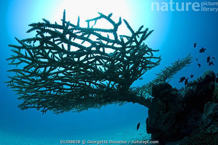 Table top coral (Acropora hyacinthus) on sandy bottom silhouetted against the sun. Maldives, Indian Ocean, ANTHOZOANS,CNIDARIANS,CORAL REEFS,CORALS,HARD CORALS,INDIAN OCEAN ISLANDS,INDIAN OCEAN,INVERTEBRATES,OUTLINE,SILHOUETTES,TROPICAL,UNDERWATER,WORMS,Marine,Cnidaria, Georgette Douwma