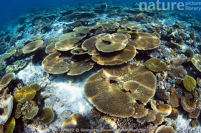 Table top corals (Acropora hyacinthus) sun dapple on shallow reef top, Maldives, Indian Ocean, ANTHOZOANS,CNIDARIANS,CORAL REEFS,CORALS,HABITAT,HARD CORALS,INDIAN OCEAN ISLANDS,INDIAN OCEAN,INVERTEBRATES,LANDSCAPES,MARINE,TROPICAL,UNDERWATER,WIDE ANGLE,WORMS,Cnidaria, Georgette Douwma