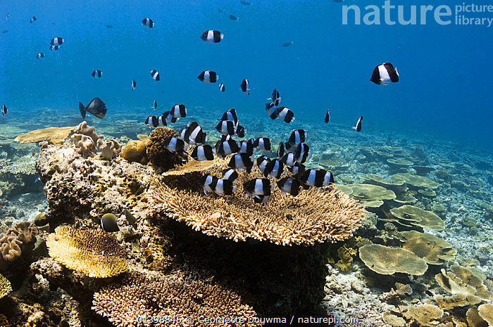 Black pyramid butterflyfish (Hemitaurichthys zoster) over table coral on shallow reef top. Maldives, Indian Ocean, BUTTERFLYFISH, CORAL-REEFS, CORALS, FISH, GROUPS, HABITAT, indian ocean islands, INDIAN-OCEAN, LANDSCAPES, MARINE, OSTEICHTHYES, shoaling, shoals, TROPICAL, UNDERWATER, VERTEBRATES, Georgette Douwma