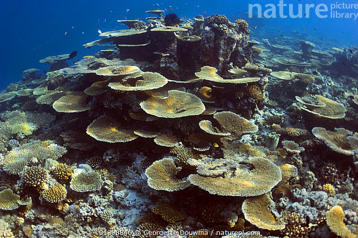 Table top corals (Acropora hyacinthus) sun dapple on shallow reef top, Maldives, Indian Ocean, ANTHOZOANS,CNIDARIANS,CORAL REEFS,CORALS,HABITAT,HARD CORALS,INDIAN OCEAN,INDIAN OCEAN ISLANDS,INVERTEBRATES,LANDSCAPES,MARINE,TROPICAL,UNDERWATER,WORMS,Cnidaria, Georgette Douwma